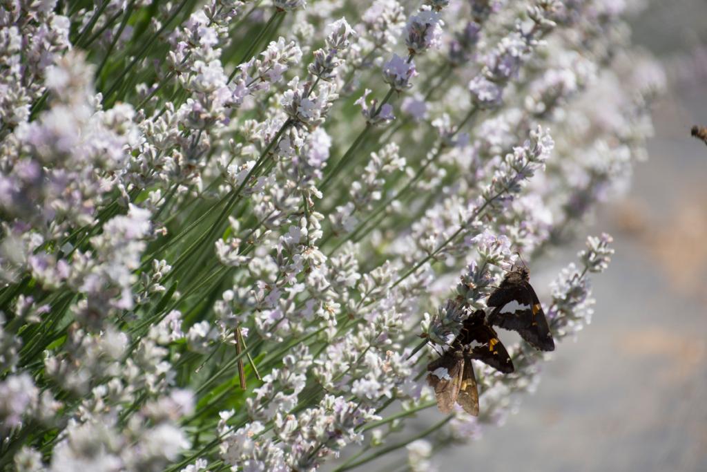 three butterflies on white lavender