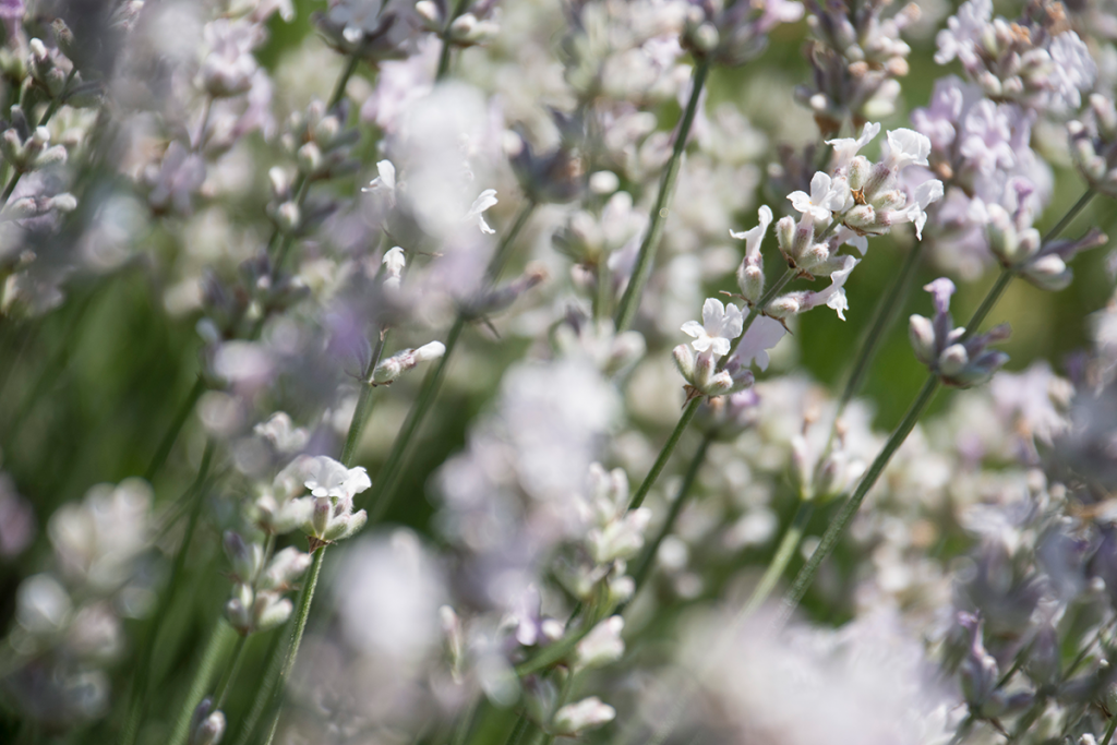 abstract of white lavender flowers