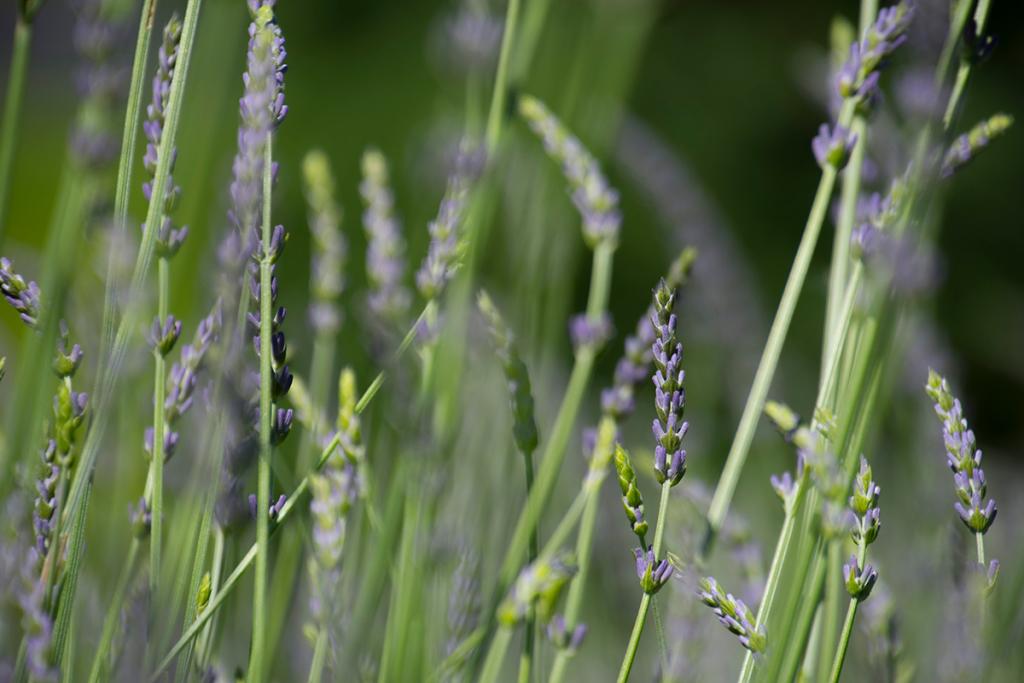 close up of purple lavender flowers