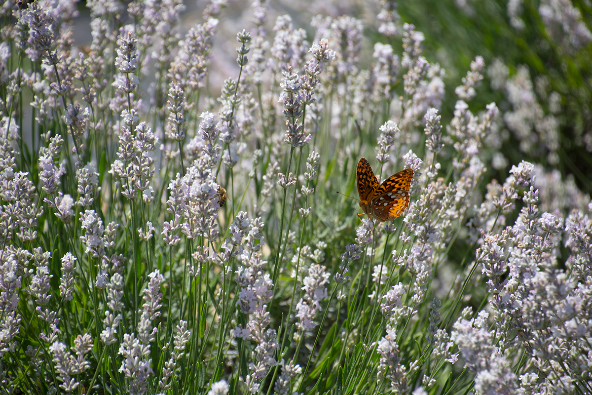 Butterfly on white lavender