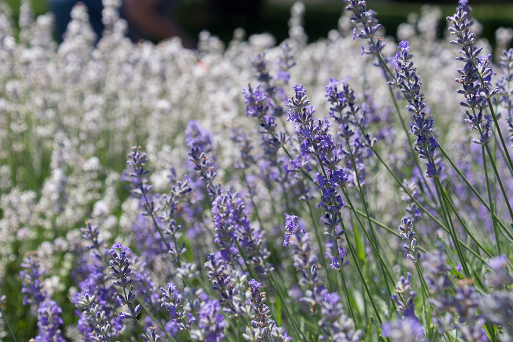purple lavender flowers in front of white lavender