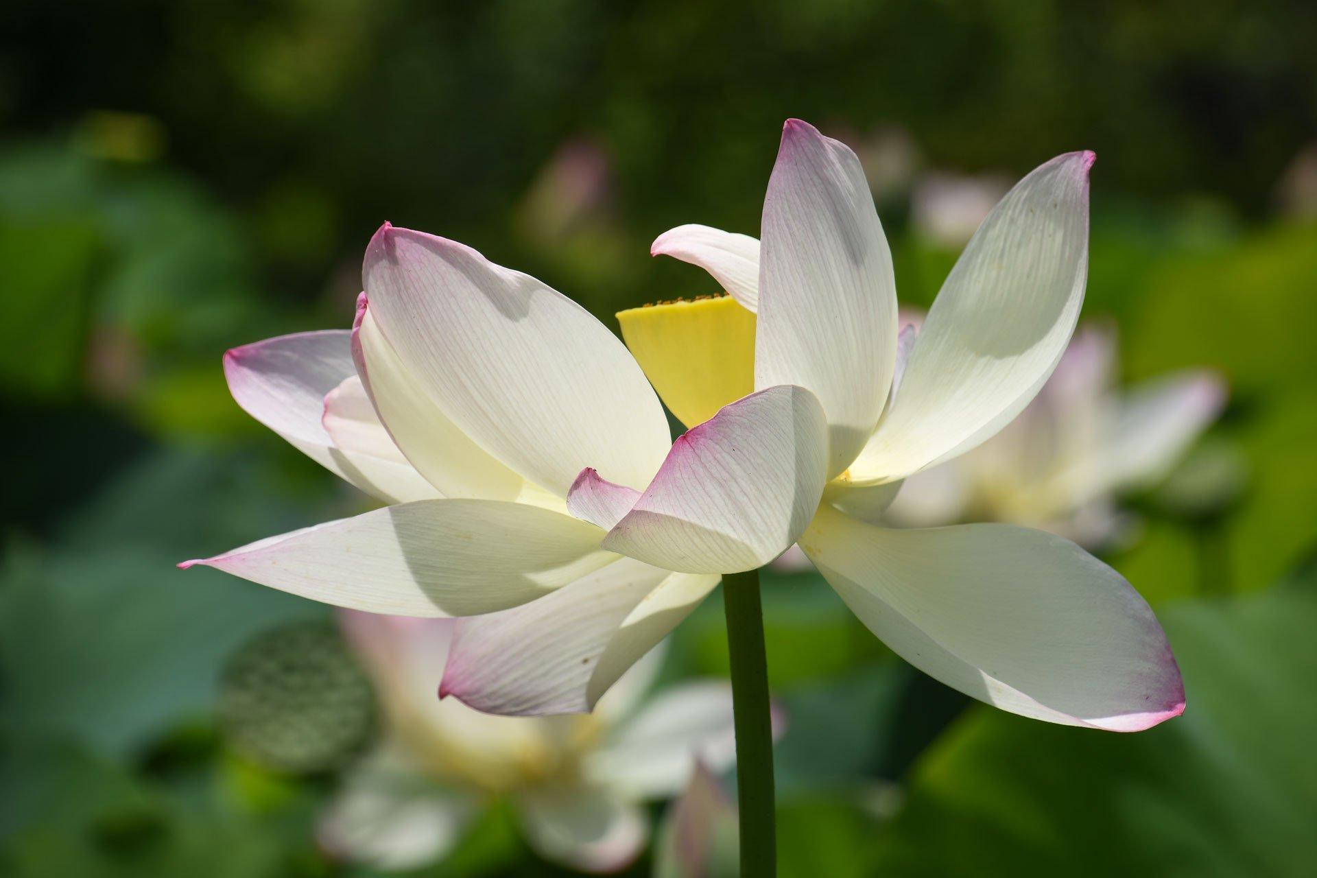 Nelumbo Lotus