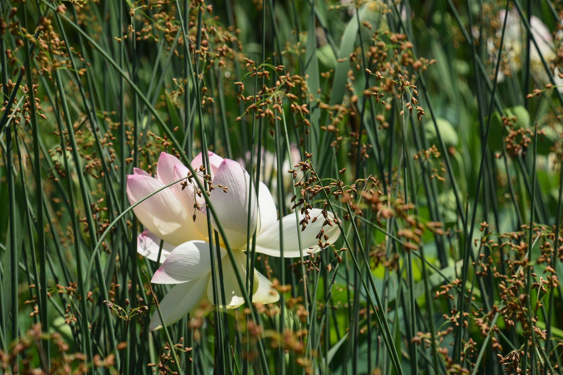 Nelumbo Lotus among the grasses